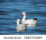 Snow Geese Swimming In Lake