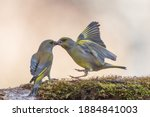 Two Isolated Green Finches...