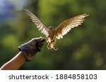 The common kestrel  falco...