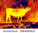 Cows In Caucasus Live Are Often ...