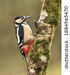 Greater Spotted Woodpecker On...