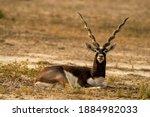 Long Horned Blackbuck Or...