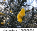 Yellow Flower Of Gorse Branch