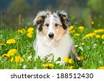 Stock photo puppy in a spring meadow 188512430