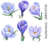 beautiful pencil lilac crocus... | Shutterstock . vector #188514743