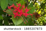 Deep Red Flower With Leaf In...