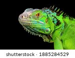 Green Iguana Closeup Head On...