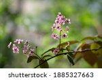 Prunus Padus Colorata Pink...