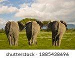 Elephants In The Amboseli...