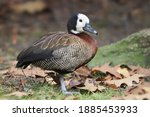 The White Faced Whistling Duck...
