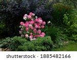 A Shrub Of Hydrangea Paniculata ...