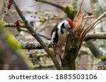 A Woodpecker In A Little Forest ...