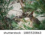 Young Rabbit In The Bushes And...