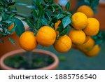 The Mature Fruits Of Citrus...