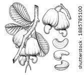 set of cashew fruit hand drawn... | Shutterstock .eps vector #1885785100