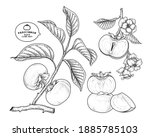 set of fuyu persimmon fruit... | Shutterstock .eps vector #1885785103