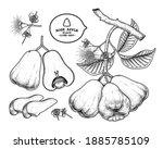 set of rose apple fruit hand... | Shutterstock .eps vector #1885785109