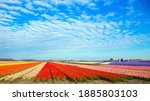 Tulip Field. Spring In The...