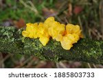 Yellow Jelly Fungus Called...