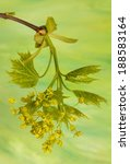 Small photo of Acer pseudoplatanus