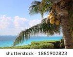Coconut. Coconut Palm. Cancun...