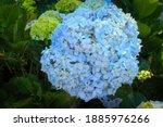 Blue  Hydrangea Flower ...