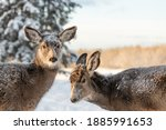 Two mule deer looking towards each other with winter forest, woods background. Snow on their faces and backs.