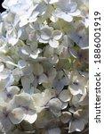White Hydrangea Flower ...