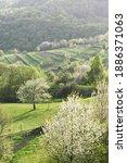 flowering cherry trees in the... | Shutterstock . vector #1886371063