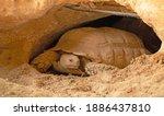 Desert Tortoise Lives In Hole...