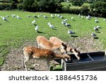 Young Deer And Seagulls In...