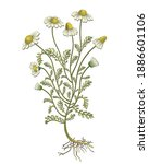 camomile vintage hand drawn... | Shutterstock .eps vector #1886601106