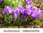 Spring Flowers. Bunch Of Purple ...