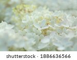 Close Up Of White Hydrangea...