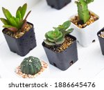 small fresh and green succulent ... | Shutterstock . vector #1886645476