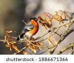 Eurasian Bullfinch  Pyrrhula...