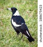Female Australian Magpie Bird ...