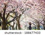 Cherry Blossom Festival....