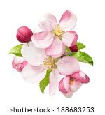 Apple Tree Blossoms With Green...