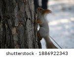 A Squirrel Climbs A Tree.