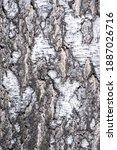 Birch Bark Texture. The Texture ...