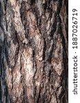 Bark Of Pine Tree. The Texture...