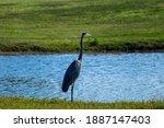 A Mature Blue Heron Crane...