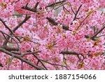 The Pink Cherry Blossom Sakura...