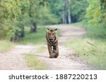 A Tigress Walking On The Forest ...