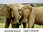 two elephants showing some... | Shutterstock . vector #188724509