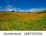Wild Orange Daylily Flowers...