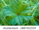 A Leaf Of Mallow  Malva...