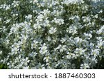 A Lot Of White  Young  Spring...