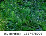 Ceratophyllum Demersum In The...